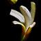 Banana - Still Life