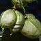 Gemeine Pimpernuss (Staphylea pinnata)