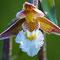 Weisse Sumpfwurz (Epipactis palustris)