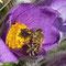 Gewöhnliche Kuhschelle mit Honigbiene (Detail)