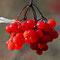 Früchte des Gemeinen Schneeballs.