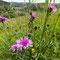 Wiesen-Flockenblumen (Centaurea jacea) im Junkerental