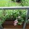 Meine Balkonblumen. Weidenröschen, Malve, Efeu und Salbei waren noch vom letzten Jahr drin.
