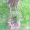Ein Ochsenauge und Schornsteinfeger habe ich auch beobachtet. Es sind aber insgesamt noch weniger Schmetterlinge als sonst da. Der alte Apfelbaum bekommt einen Rambler: Lykkefund.