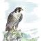 """Faucon - Illustration """"Gazette de La Schlucht"""" - Encre couleur et trait noir - A4 - 2016<br><br>Illustration . dessin . animalier . animal"""