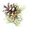 Fruit du pin sylvestre - Encre couleur et crayon noir sur papier - 15 x 15 cm - 2012<br><br>Illustration . dessin naturaliste . peinture