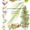 La Phytembryothérapie - Illustration de plantes pour la société LA ROYALE Luxembourg (Produits de la ruche-gelules-tisanes-huiles...) - 2012  <br><br>Illustration . dessin . peinture