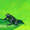 Grenouille androbate - Acrylique sur papier - 18 x 18 cm - 2007<br><br>Illustration . dessin . animalier . animal