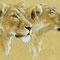 Lionnes - Crayons couleur et acrylique blanche sur papier peau d'éléphant - 90 x 60 cm - 2012 <br><br>Illustration . dessin . animalier . animal