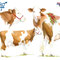 Diplôme concours vache race Montbéliarde -  Eurogénétique 2013 - Encre couleur et crayon noir sur papier - 50 x 40 cm<br><br>Illustration . dessin . animalier . animal