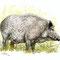 Sanglier mâle - Encre noire et couleurs aquarelles sur papier - Illustration pour ONF Colmar - 30 x 20 cm - 2010<br><br>Illustration . dessin . animalier . animal