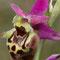 Ophrys dynarica