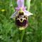 Ophrys pseudoscolopax, champ basal en w