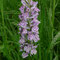 Dactylorhiza maculata, photo RF