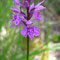 Dactylorhiza fuchsii, photo RF