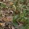 Neottinea maculata