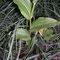 Epipactis rhodanensis, photo RF