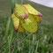 Fritillaria tubiformis subsp moggridgei