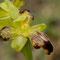 Ophrys lupercalis à pétales labellisés