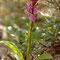 Ophrys spitzelli