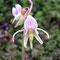 Epipogium aphyllum, photo RF