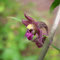 Epipactis atrorubens, photo RF