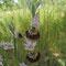 Ophrys druentica