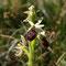 Ophrys arachnitiformis