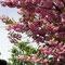 会社横の八重桜並木、開花が早かった