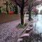 写真を撮った翌日は激しい雨で一面花びらの絨毯に