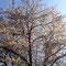 のびのびと 大きな桜の樹