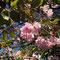 旭山記念公園 葉桜