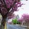 会社横の八重桜並木