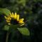Die Sonnenblume beim Sonneanblumen