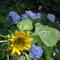 Die erste Sonnenblumenblüte