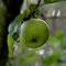 Mein einziger Apfel