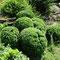 buis taillés, depuis 2008, jardin privé, Florac (48)