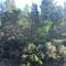 chêne kermés, (Crest), depuis 2009, Espira de l'Agly (66)
