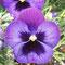 Violettes Stiefmütterchen