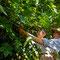 殿の山木苺穫り