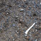 川原の土砂の上で見つけた鹿のものと思われる白骨化した骨