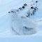 Schneehuhn (P. Burkhart)