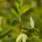 L'Argus vert -Callophrys rubi stage macro avec LB (2010_06)