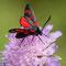 La zygène sur scabieuse (Zygaena filipendulae)