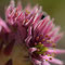 Joubarbe toile d'araignée - Sempervivum arachnoideum