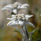 Edelweiss ou étoile d'argent, des neiges, des glaciers…  - Leontopodium alpinum