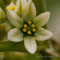 Vérâtre verdissant  - Veratrum lobelianum (liliacées)