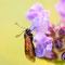 Papillon 'Zygène ?' sur scabieuse (65 Cirque de Gavarnie 2013-08)