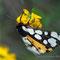 L'Écaille chinée-Euplagia quadripunctaria (papillon de nuit)