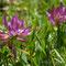 Trèfle des Alpes  - Trifolium alpinum